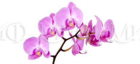 Фотопечать Орхидея фиолетовая