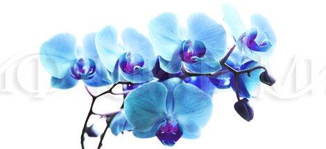 Фотопечать Орхидея синяя